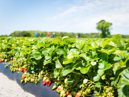The strawberry fields at Magee Farms on Thursday, May 19 in Selbyville, DE.