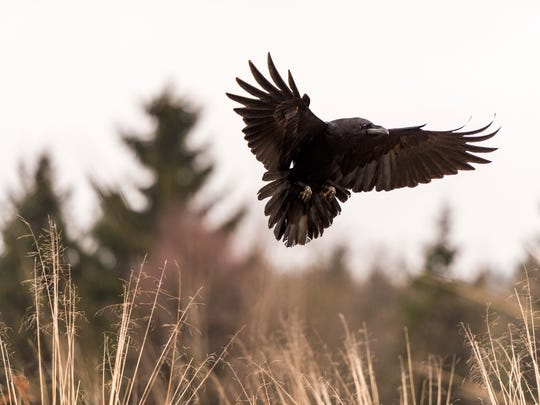 Oregon wildlife officials are trying to poison ravens to save greater sage grouse.