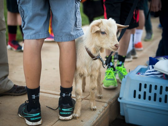 A goat was among the animals brought by students to