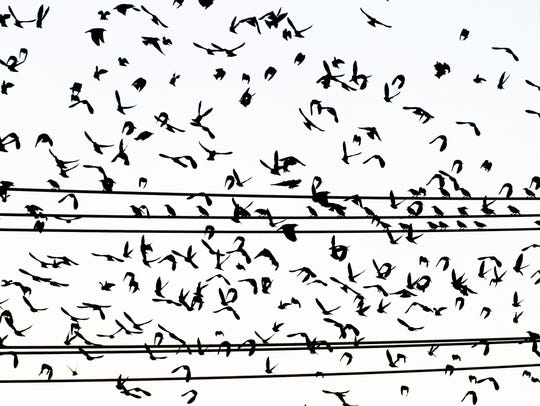 Starlings take flight from utility lines behind Barley's