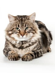 Cheshire, a 6-year-old male Maine Coon mix cat. No. 92942.