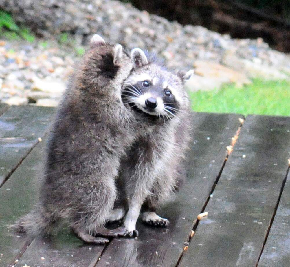 Image of: Raccoon Removal 636555098233792853coon5jpg Aaa Gates Wildlife Control Raccoons Coyotes Opossums To Be Euthanized Under Proposed Dnr Rule
