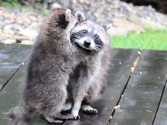 Raccoons, coyotes, opossums to be euthanized under proposed