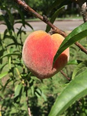 In June, peaches grow rapidly and will soon be ripe and juicy.