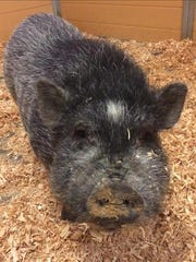 Henry Winkler, a 10-month-old male pot belly pig. No. 96213.