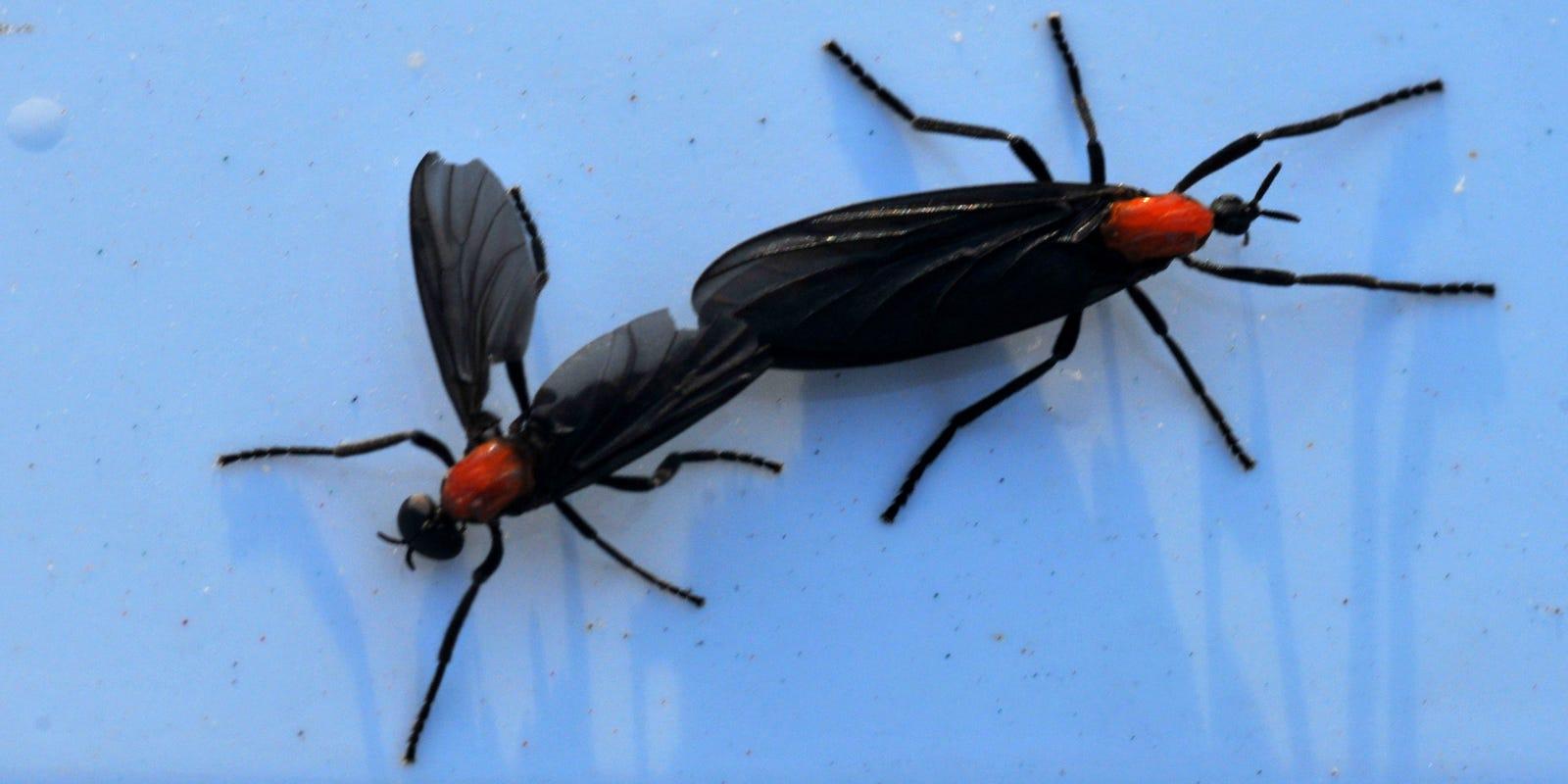 Lovebugs In Shreveport Bossier City