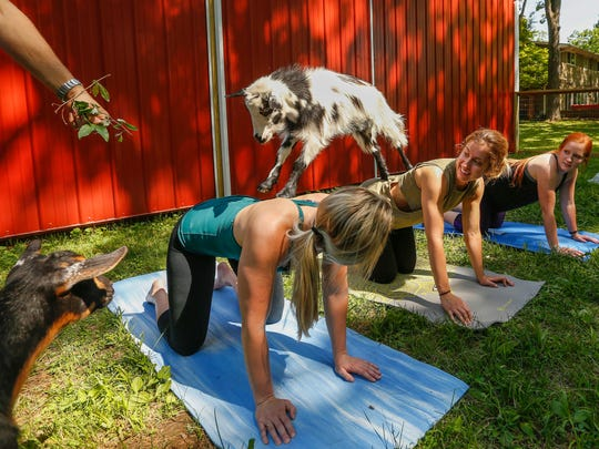 A goat jumps from Brandi Groce to Lauren Skaham's back during Goats and Yoga on Herding Dogs Farm in Rogersville on Saturday, May 19, 2018.