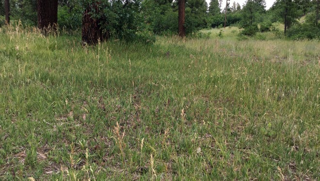 In areas where forest thinning and prescribed burns have occurred, grass has begun to grow in the Jemez Mountains. U.S. Rep. Steve Pearce, R-N.M., recently added an amendment to a bill that he hopes would boost forest thinning projects in the Lincoln, Gila and Cibola forests.