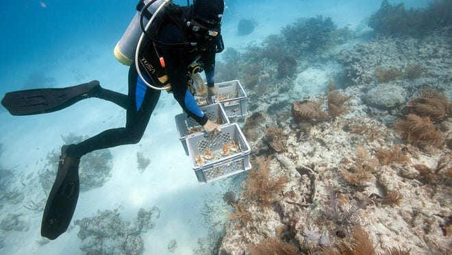 Erich Bartels of Mote Marine Lab places nursery-grown coral fragments at an outplant site offshore of Big Pine Key.