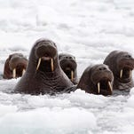 Pacific walruses in the Chukchi Sea off the coast of Alaska in June.