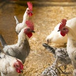 The birds next door: Glendale backyard-chicken proposal sparks heated debate