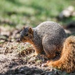 A squirrel looks for nuts at Pleasant Run Golf Course in Indianapolis.
