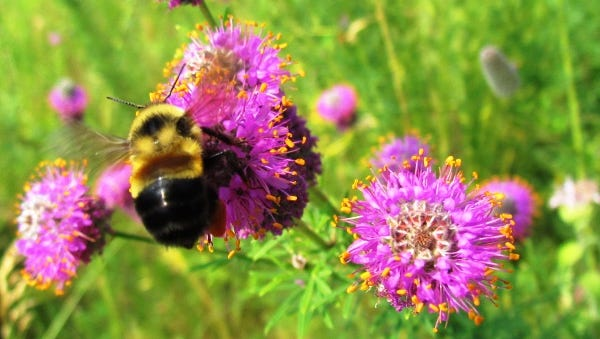 The rusty patched bumblebee is the first bumblebee to be listed as an endangered species.