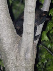 A family of bears, including this cub, were sleeping in trees behind 606 McDowell Place in Elmira in this file photo. The bears had left by morning.
