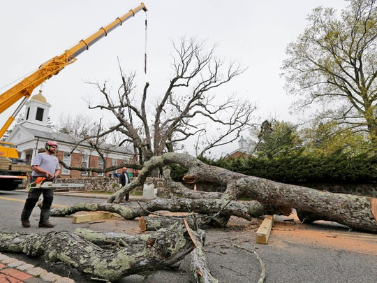 Large branches off the white oak tree are lowered to
