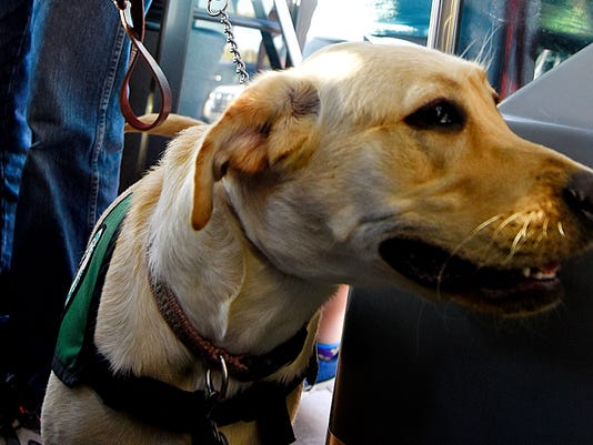 Honey, front, a ten-month-old yellow lab, waits for her people Mark Zearfoss, back left, and Cheryl Zearfoss, back right, both of West Manchester Township, and other members of the Loving Eyes 4-H Seeing Eye Puppy Club board a bus headed for the York Fair in York, Pa. on Tuesday, Sept. 15, 2015.  The dogs are in the 4-H program from about seven weeks to fifteen months of age, and are trained to be seeing eye dogs for the visually impaired.  Dawn J. Sagert - dsagert@yorkdispatch.com