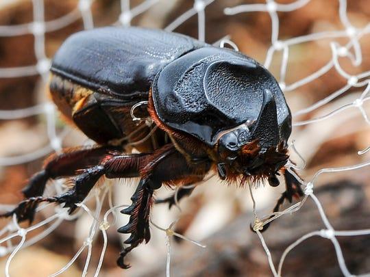 A coconut rhinoceros beetle.