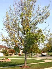 A tree infested with emerald ash borer.