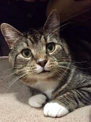 Micky is a small, adult male domestic short hair with