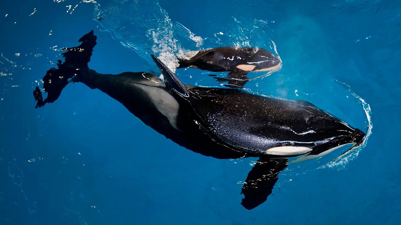 691229d396 Last orca calf born in captivity at SeaWorld park dies (9.99 32)