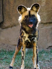 Brahma, the new African painted dog at the Cincinnati Zoo.