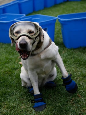 Frida, one of three Marine specially trained rescue dogs wears her protective gear during a press event in Mexico City, Thursday, Sept. 28, 2017. According to the Marines, the eight-year-old Labrador Retriever has identified 53 people trapped under rubble in her career, 12 of them alive.