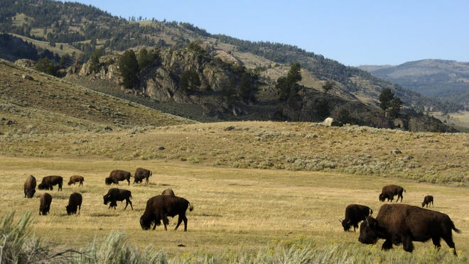 FILE - In this Aug. 3, 2016 photo, a herd of bison grazes in the Lamar Valley of Yellowstone National Park. An Oregon man who was caught on video harassing a bison in Yellowstone National Park has been arrested in Glacier National Park. The National Park Service says 55-year-old Raymond Reinke caused a disturbance Thursday, Aug. 2, 2018, in Many Glacier Hotel. Yellowstone rangers cited him later over the bison incident. Reinke had been cited for drunken and disorderly conduct in a third national park, Grand Teton, last Saturday and released on bond. (AP Photo/Matthew Brown, File)