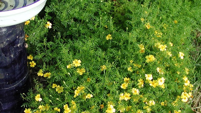 In this June 2, 2014 photo, the small flowers of Lemon Gem marigold, a different species from common marigolds, stare out like stars from a backdrop of ferny foliage in New Paltz, New York. (AP Photo/Lee Reich)