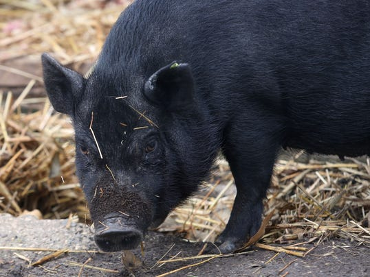 Rogue pig