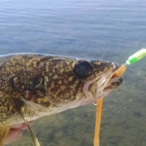 Jason Kron caught a walleye recently on a Central Minnesota lake using a spinner rig/plastic crawler combo.