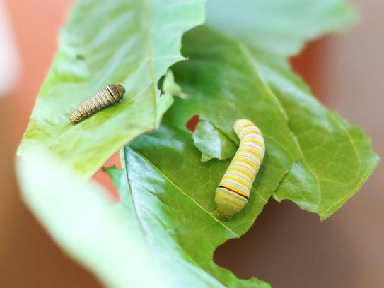 Zebra swallowtail caterpillars eat as they crawl along
