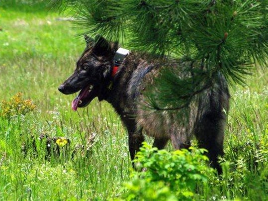 SAL wolf