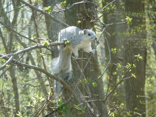 A Delmarva Fox Squirrel perched on a tree branch.
