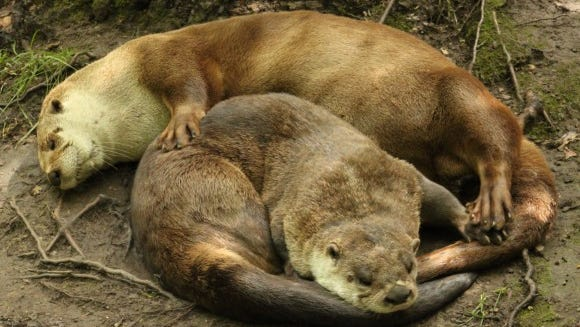 Our sister otter pair, Heather and Sara, will celebrate 11th birthdays this year
