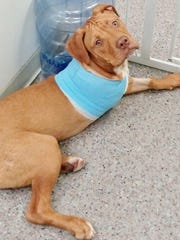 Red, the puppy rescued from Buchanan by the Westchester SPCA Monday, is shown July 20, 2015.