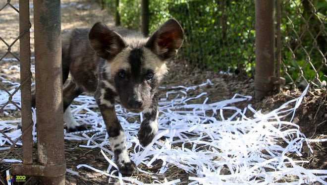 African painted dog pups with their parents Swiss and Puzzle off exhibit at Zoo Knoxville Monday March 19, 2018.