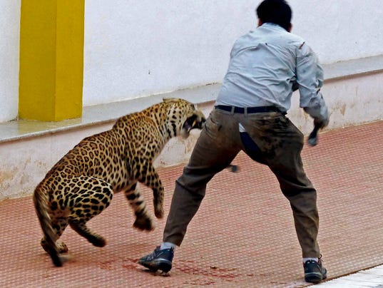video leopard attacks workers after wandering into indian