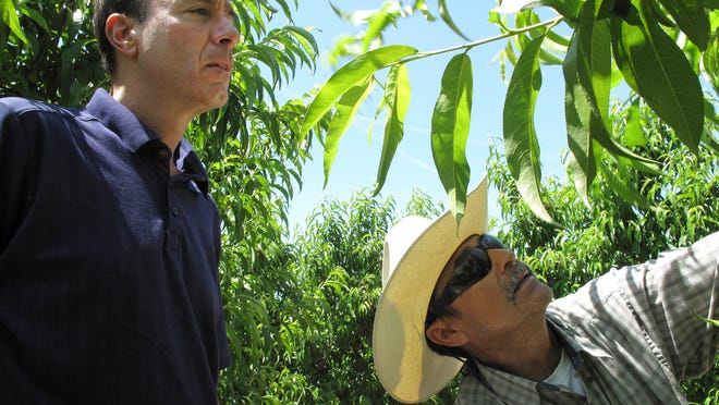 In this 2014 photo, Dan Gerawan, owner of at Gerawan Farming, Inc., left, talks with crew boss Jose Cabello in a nectarine orchard near Sanger.