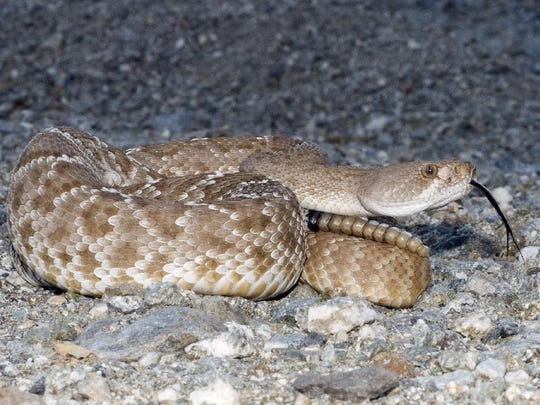 This Desert Sun file photo shows a Red Diamond Rattlesnake. Experts say the Coachella Valley is in peak rattlesnake season and residents should avoid the snakes.