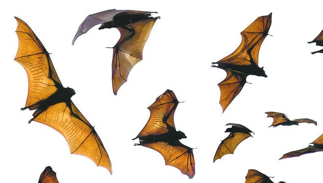 photo illustration by francine loinaz/gannett; thinkstock (top); Peter hayden/Cronkite news service (above) bats. credit: Thinkstock