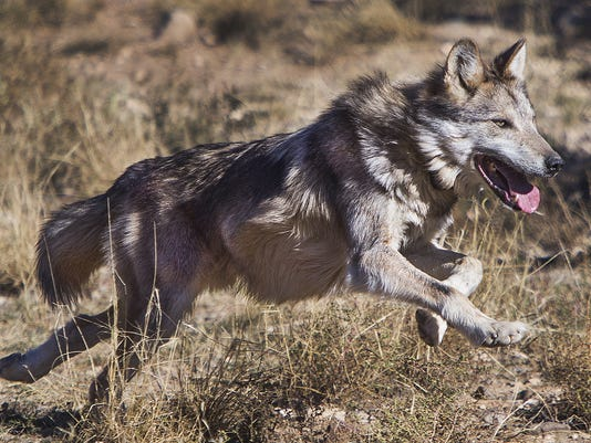 Mexican Gray Wolf Cattle Cant Coexist Let Wolves Have Public Land