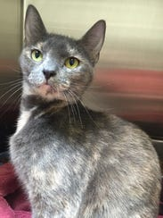 Dixie is a 3-year-old dilute tortie girl who came into