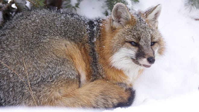Listeria has been found in two New Hampshire wild gray foxes by investigators at the New Hampshire Veterinary Diagnostic Laboratory at the University of New Hampshire. A zoonotic disease, the bacterium listeria monocytogenes can sicken both people and farm animals.