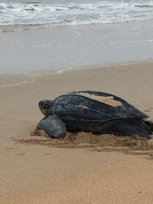 An 800-pound endangered leatherback sea turtle nests at the Canaveral National Seashore in May 2015.