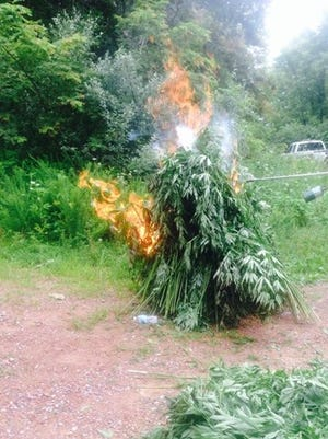 Law enforcement destroys pot in Campbell County