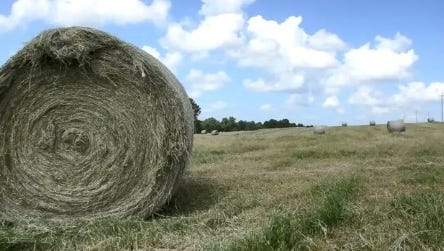Hay supplies are shorter than last year, and continued drought conditions could put beef cattle producers in a tough spot regarding their herds.