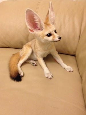 'Luna' is a fennec fox that escaped from its owners in White Plains.