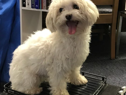 Parker is a 7-year-old, male Bichon/Maltese blend. He's a happy go-lucky boy who plays well with the other dogs in his foster home. He'll chase cats if they run. Parker does well on a leash and loves to be carried around. He's a bit of a barker at times. He had 12 teeth removed. Adoption fee is $200. He's neutered, microchipped, heat-worm-tested negative and current on shots, rabies and kennel cough vaccines. Visit Tails of Rescue Adoption Center, 981 Lake Blvd., Redding. Call 448-7444. Go to http://tailsofrescue.org.