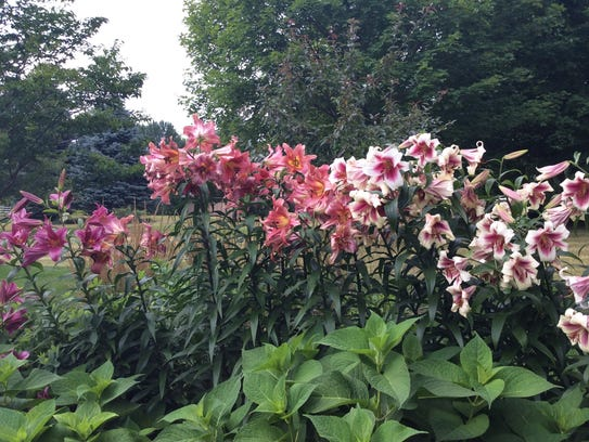 Large flowers on long stalks, there are many kinds