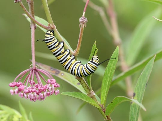A monarch caterpillar clings to a swamp milkweed on the Decatur county acreage of Bill and Sibylla Brown. The plant is key to the survival of the monarch butterfly.